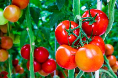 Cà chua có lượng chất chống oxy hóa rất cao. Ăn cà chua hàng ngày sẽ giúp làn da của bạn không bị cháy nắng, cung cấp collagen, ngăn ngừa hiện tượng chảy xệ và lão hóa. Bạn nên chế biến cà chua thành salat hoặc nghiền nhỏ thành bột để ăn sống thay vì nấu chín.